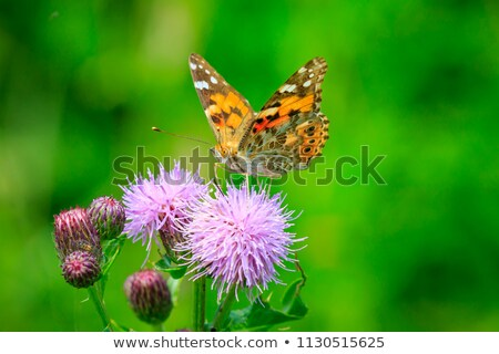 macro of a painted lady butterfly on a flower stock photo © manfredxy