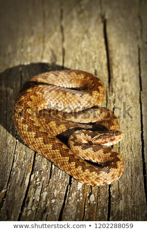common crossed viper basking on wooden board Stock photo © taviphoto