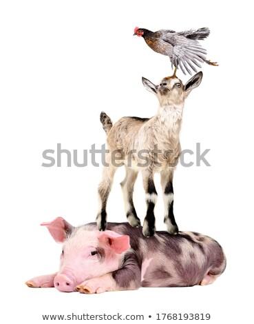 Boerderijdieren permanente top ander illustratie achtergrond Stockfoto © colematt