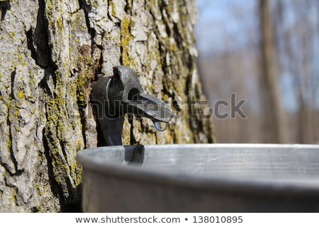 Droplet of sap flowing from the maple tree into a pail for make pure maple syrup Stock photo © flariv