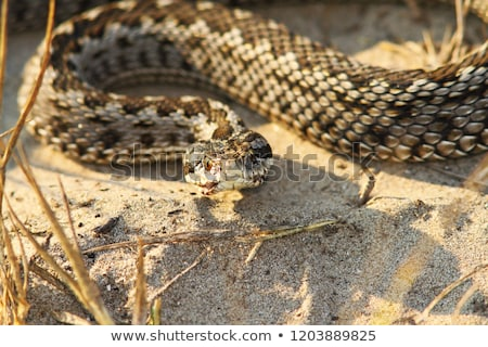 moldavian meadow viper in natural environment Stock photo © taviphoto