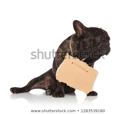 adorable beggar french bullsog wearing carton sign looks to side Stock photo © feedough