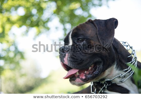 metal strict collar for dogs  Stock photo © OleksandrO