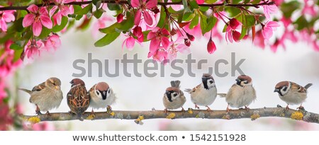 Tree sparrow sitting in an apple tree Stock photo © manfredxy