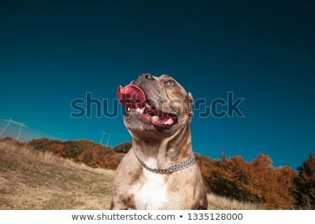 Amerikai áll mező zihálás felfelé néz szabadtér Stock fotó © feedough