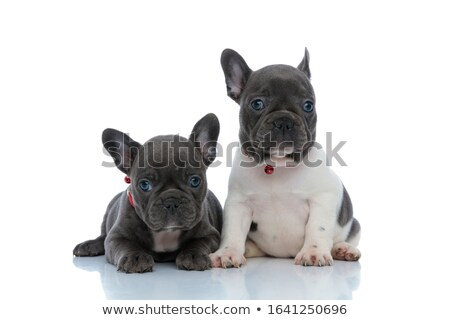 french bulldog puppy with red dog collar sitting Stock photo © feedough