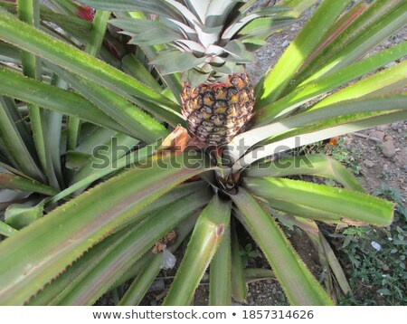 pineapple tropical plant edible multiple fruit stock photo © robuart