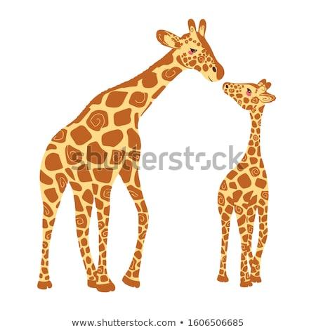 Iki zürafalar hayvanat bahçesi örnek manzara bahçe Stok fotoğraf © colematt