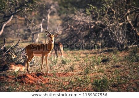 female impala in herd stares at camera stock photo © simoneeman