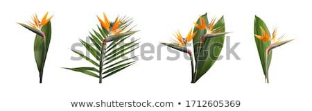Tropische oranje bloem Stockfoto © KMWPhotography