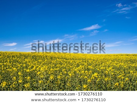 rape field and blue sky stock photo © capturelight