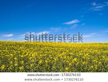 Nemi erőszak mező kék ég nyár tájkép citromsárga Stock fotó © CaptureLight