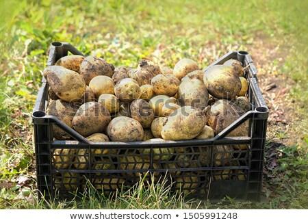 new harvest potato stock photo © zhekos