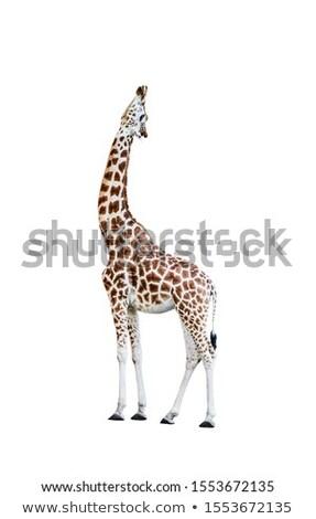 Stock photo: African giraffe raising head up cutout