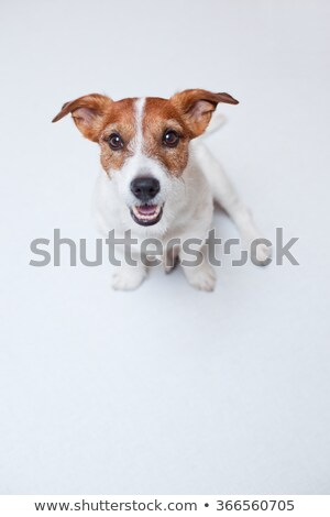 Parson Russell Terrier sitting in the white photo studio Stock photo © vauvau
