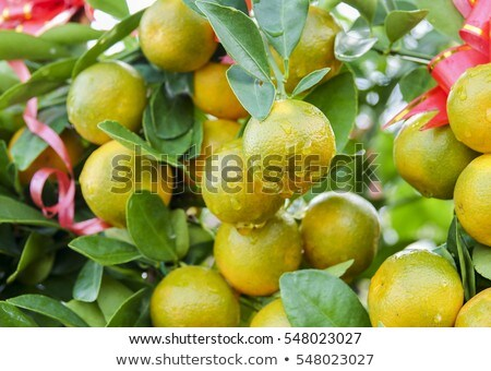 Decorative mandarins tree. Chinese New Year prosperity ,wealth a Stok fotoğraf © galitskaya