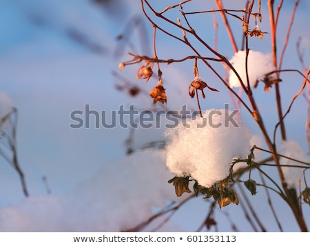 icy twigs and branches in snow against orange sunset Stock photo © morrbyte