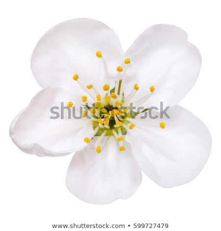 blossoming apple flowers stock photo © neirfy