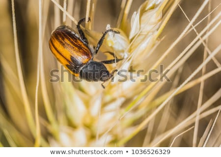 Brood kever tarwe gewas planten Stockfoto © simazoran
