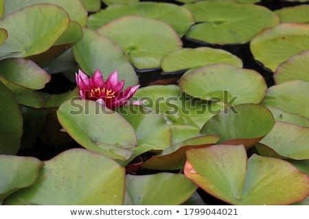 red water lily stock photo © tetkoren