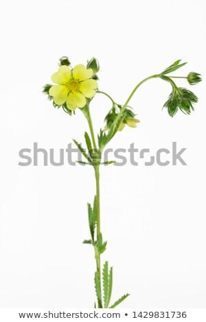 Yellow spring flower (Potentilla recta)  Stock photo © pashabo