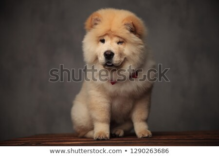 pretty chow chow female wearing red bowtie winking Stock photo © feedough