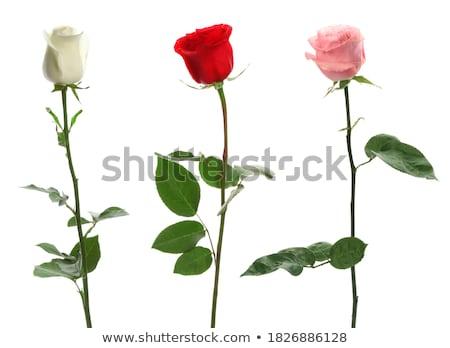 マクロ · カラフル · バラの花びら · 混合した · バラ · 充填 - ストックフォト © pxhidalgo