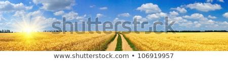 sunbeam on golden corn in field Stock photo © meinzahn
