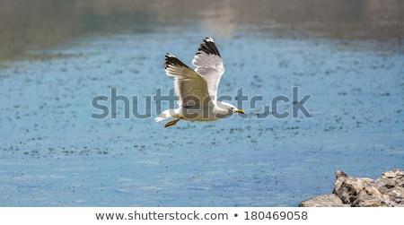 california gull flying over the beautiful mono lake stock photo © meinzahn