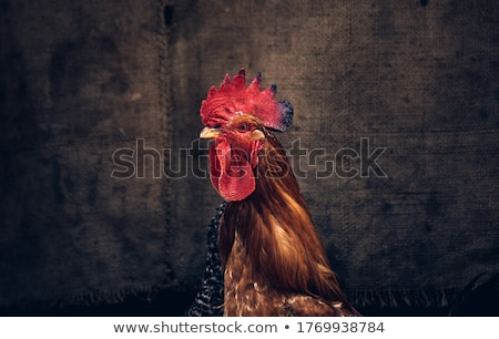 Hens and Rooster Stock photo © pixelman