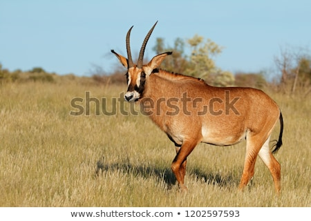 roan antelope stock photo © ajlber