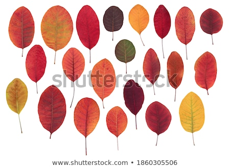 Sumac Autumn Leaves Stock photo © ca2hill