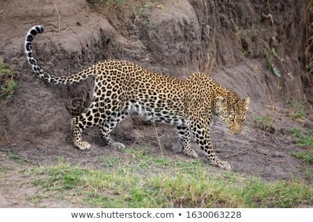 leopar · Botsvana · zemin · oyun · rezerv - stok fotoğraf © dirkr