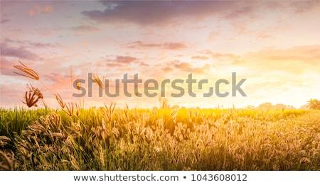 Natur golden Gras schönen bokeh Lichter Stock foto © dariazu
