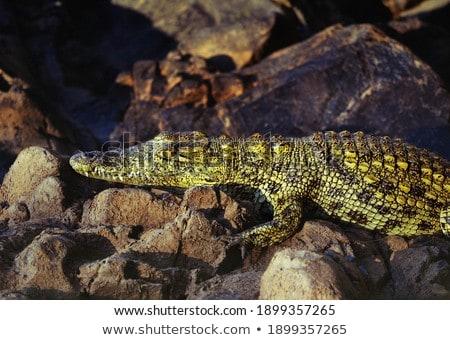 Krokodil fektet víz park Dél-Afrika folyó Stock fotó © simoneeman