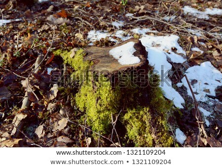 tree stump in sunlight with moss and melting snow stock photo © sarahdoow