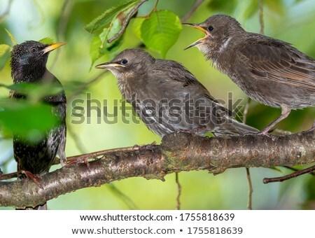 голодный молодые ждет продовольствие птиц Сток-фото © manfredxy
