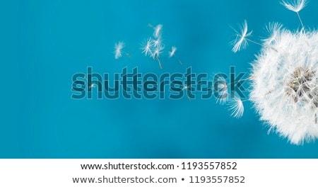 dandelion flower seed head macro closeup stock photo © davidgn