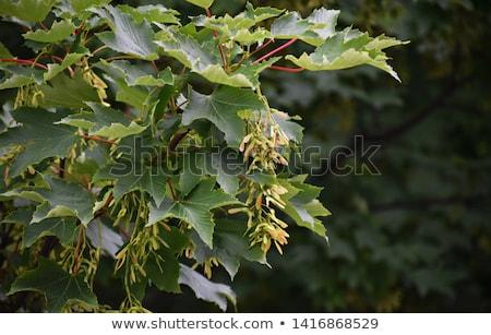 Sycamore maple, Acer pseudoplatanus Stock photo © Arrxxx