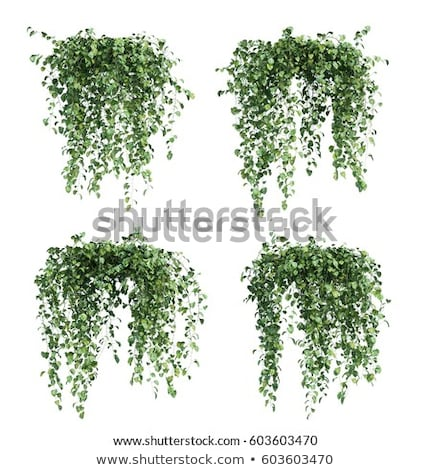 Creeping Plant Stock photo © derocz