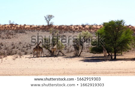 giraffe in Kgalagadi Transfrontier Park eats from the trees Stock photo © meinzahn