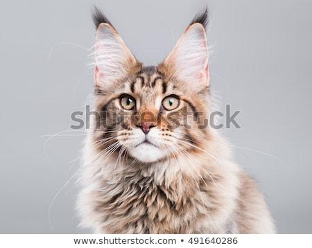 Dolce cat ritratto foto studio bellezza Foto d'archivio © vauvau