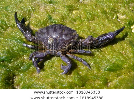 Nagy kagyló természet tenger óceán zöld Stock fotó © colematt