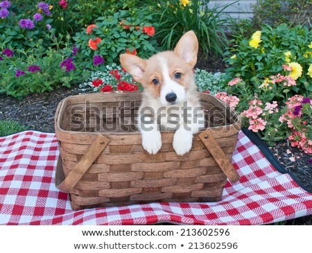 Cute corgi dog in a picnic basket Stock photo © amaomam