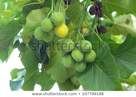 Jatropha curcas seeds  Stock photo © stoonn