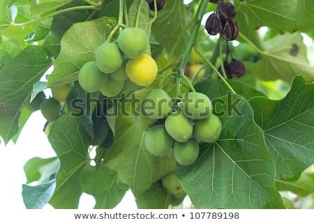 семян · гайка · тропические · субтропический · нефть - Сток-фото © stoonn