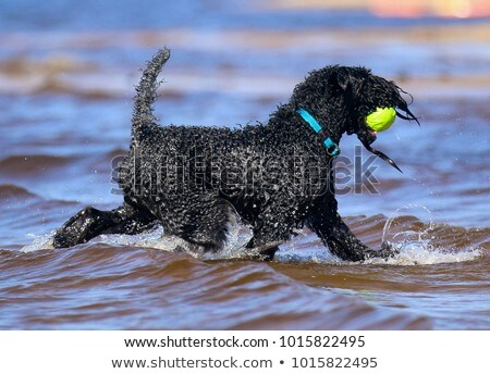 kerry blue terrier and beach Stock photo © cynoclub