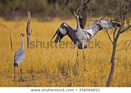Brolga (Grus rubicunda) stock photo © dirkr