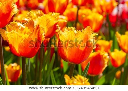 Bukiet żółty fioletowy czerwony tulipany różowy Zdjęcia stock © neirfy