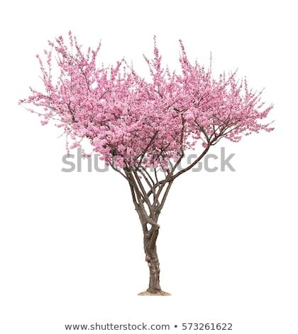 One branch with green leaf of cherry-tree Stock photo © boroda